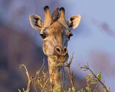 Giraffe and Yellow-billed Oxpecker  Okavango Delta, Botswana
