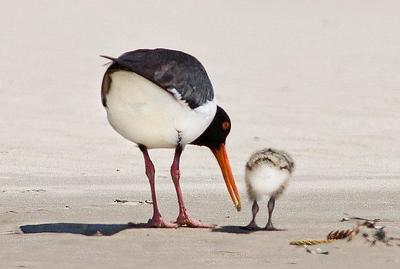 Pied Oystercatcher and chick  Port Macquarie, NSW