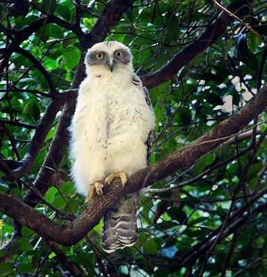 Powerful Owl chick  Port Macquarie, NSW
