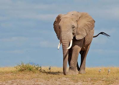 Male Elephant  Amboseli NP, Kenya