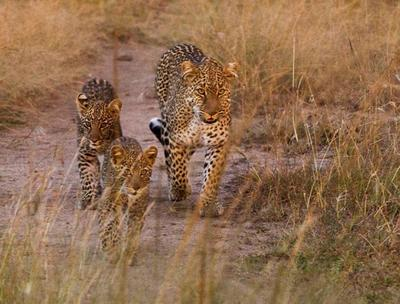 Female Leopard with two cubs  Masai Mara, Kenya