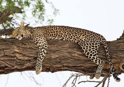 Sleeping Leopard  Okavango Delta, Botswana