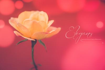 Peach Rose.jpg