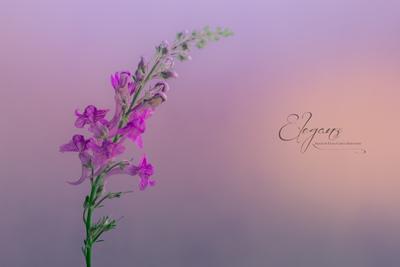 Lilac Hues.jpg