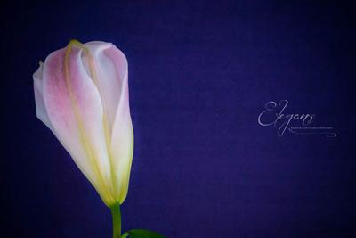 Lily 2.jpg