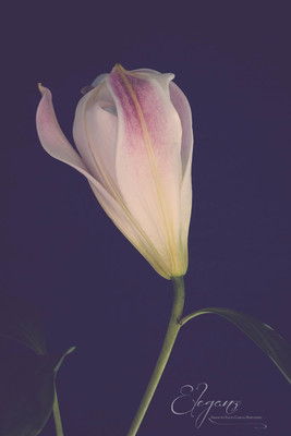 Soft - Lily.jpg