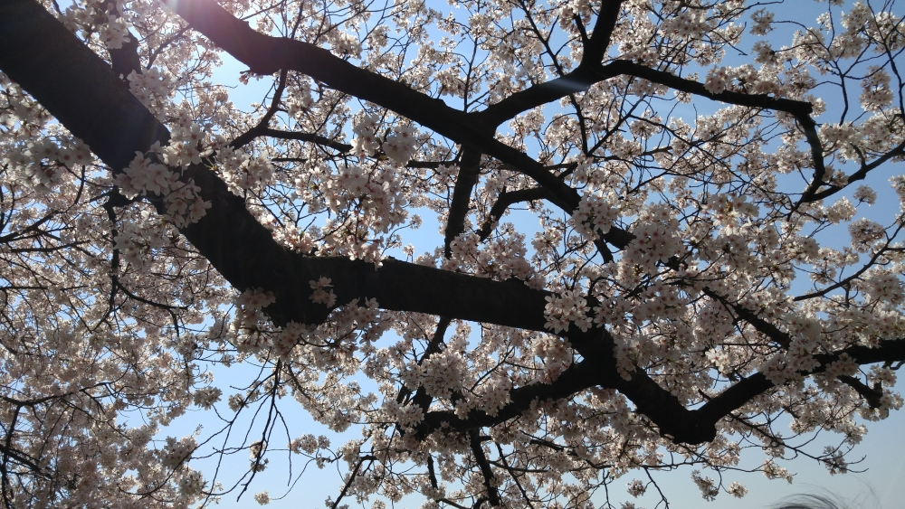 Cherry Blossoms to peak March 14-17