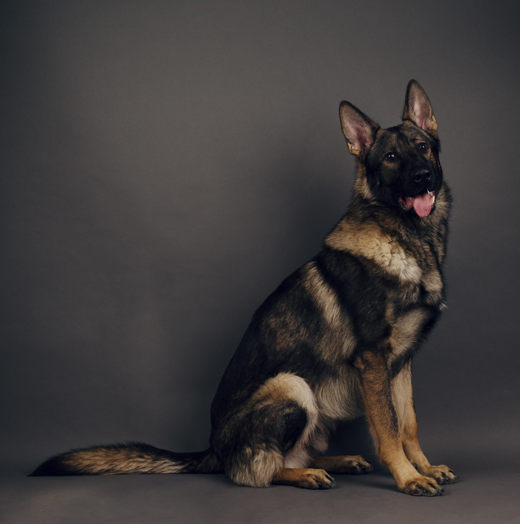 Kraftwerk K9 German Shepherd