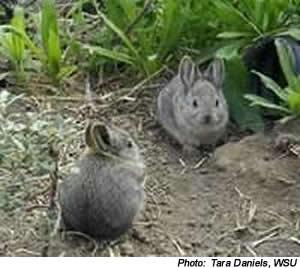 pygmy_rabbits