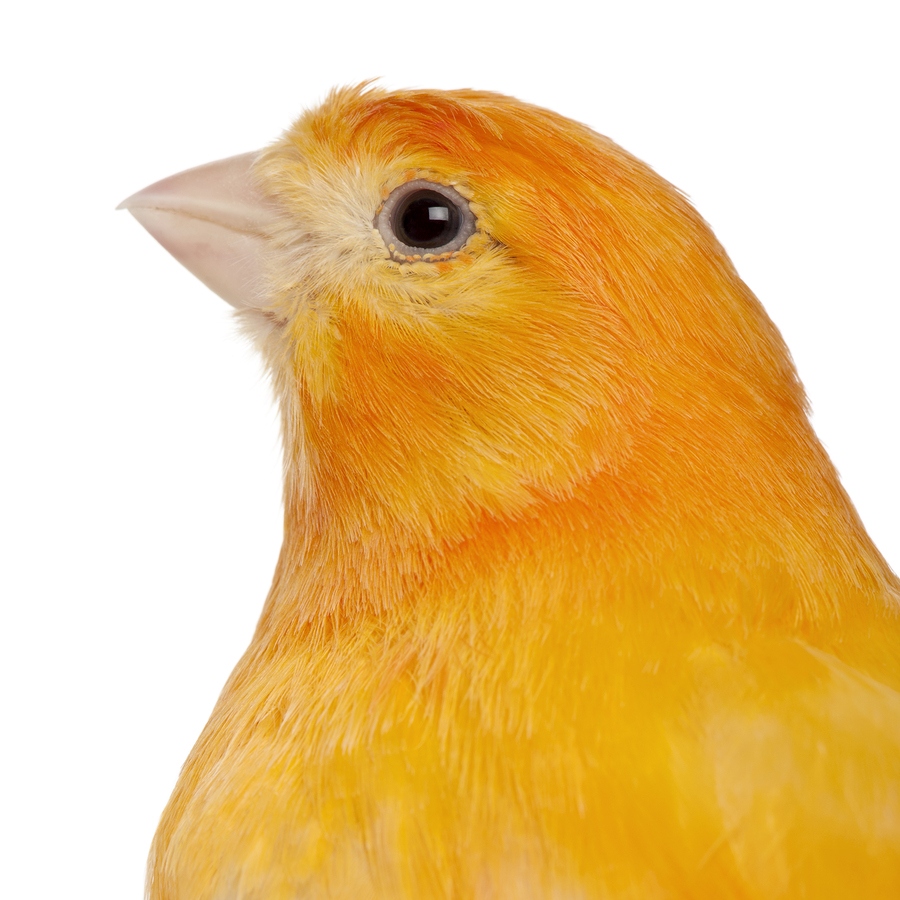 Close-up of Canary, Serinus canaria domestica, 2 years old, in f