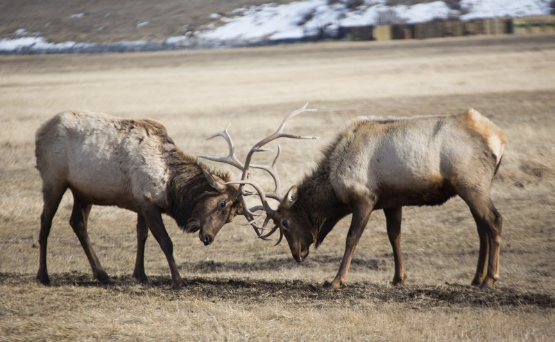 elks_high_res_4620.jpg