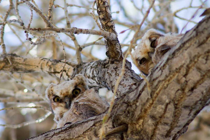 5216_maddie_chico_wildlife_great_horned_owlets_2.jpg
