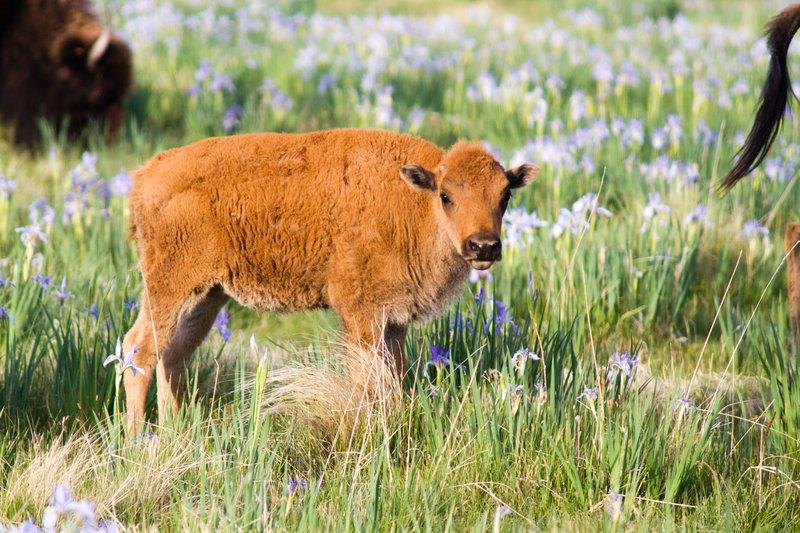 53016_maddie_zapata_bison_calf-31.jpg