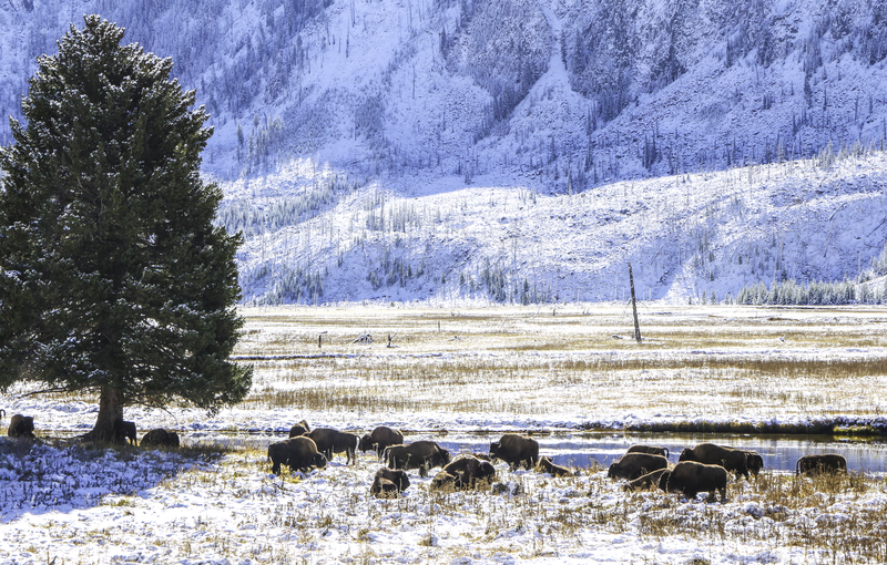 yellowstone-winter-bison.png