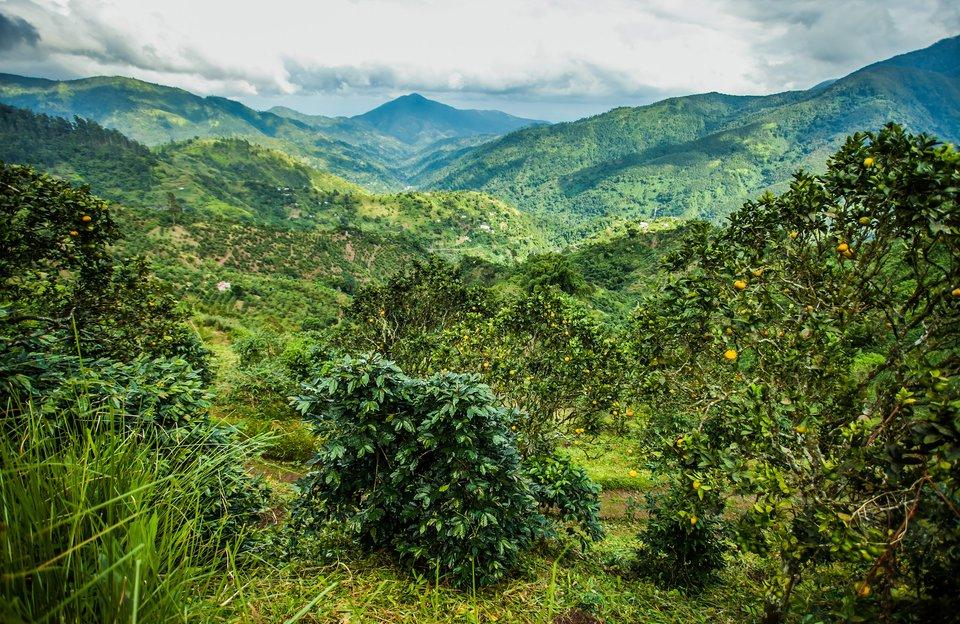 Jamaica's Blue Mountains Coffee Excursion