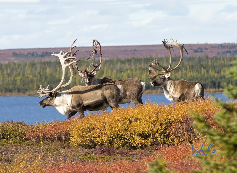 bull_caribou_in_september_near_arctic_haven.jpg