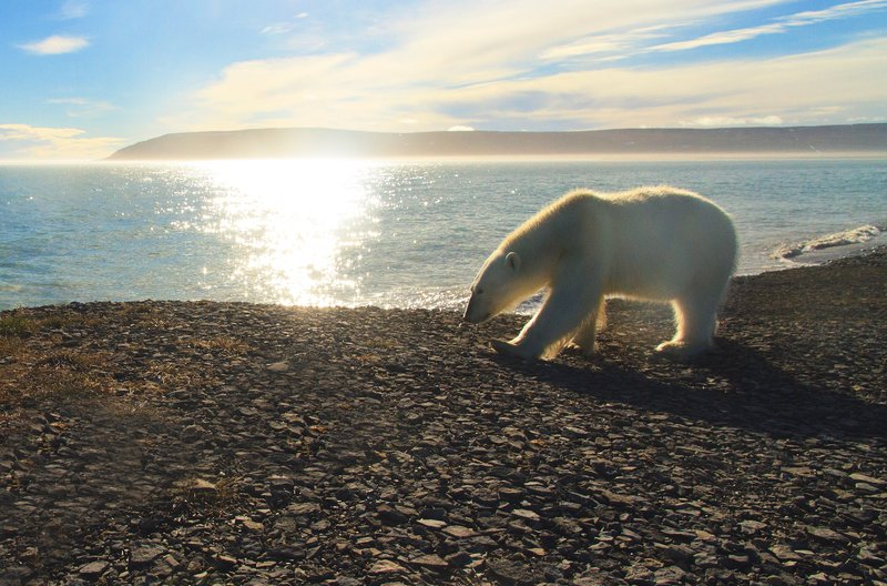 polar_bear_walking_on_the_shoreline.jpg