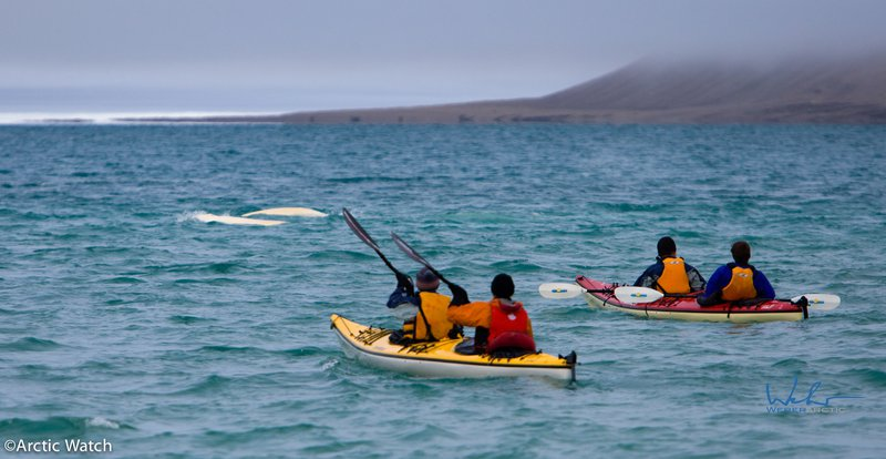 sea_kayaking_on_the_northwest_passage_with_belugas.jpg