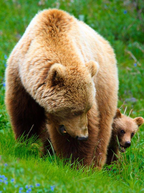 kantishna_roadhouse-wildlife-bears.jpg
