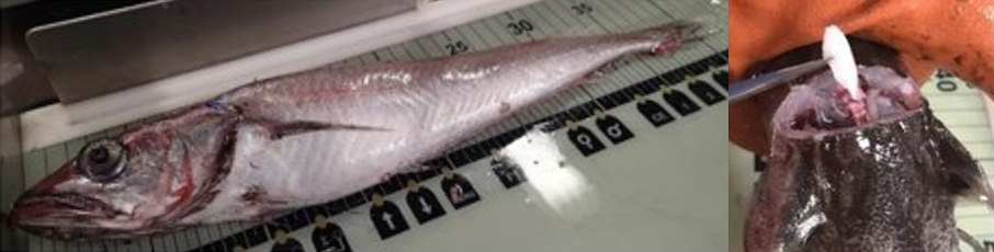 A hake laid out on a board to record the length and (right)A person extracting an otolith from a hake.