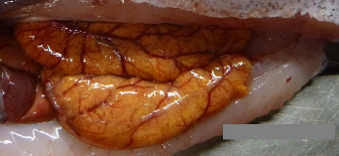 Fat orange tubes with blood vessels inside the abdominal cavity of a hake.