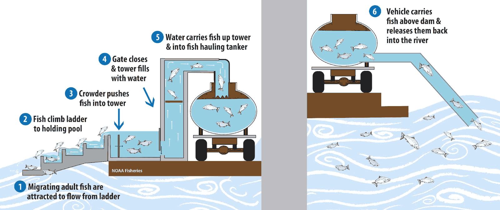 Diagram of fish passage technology using tanker trucks