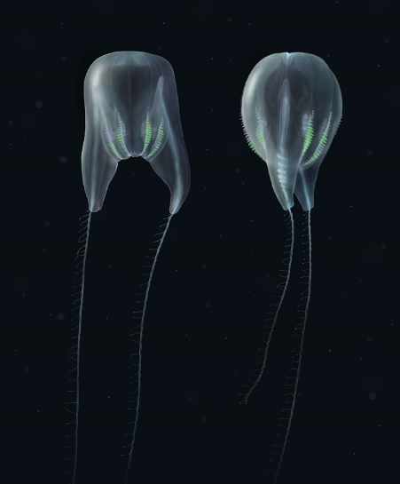 A photorealistic depiction of the newly discovered comb jelly species.