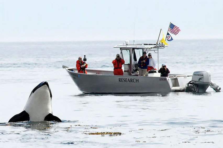 NOAA research boat with killer whale breaching in the foreground