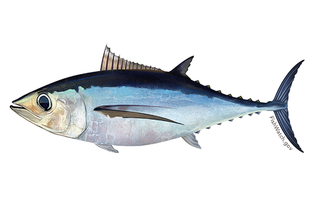 Image for Albacore