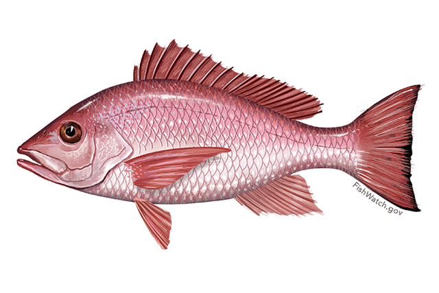 Image for Northern Red Snapper