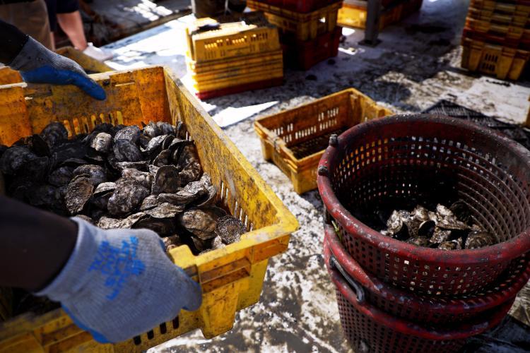 Cherrystone oysters in buckets