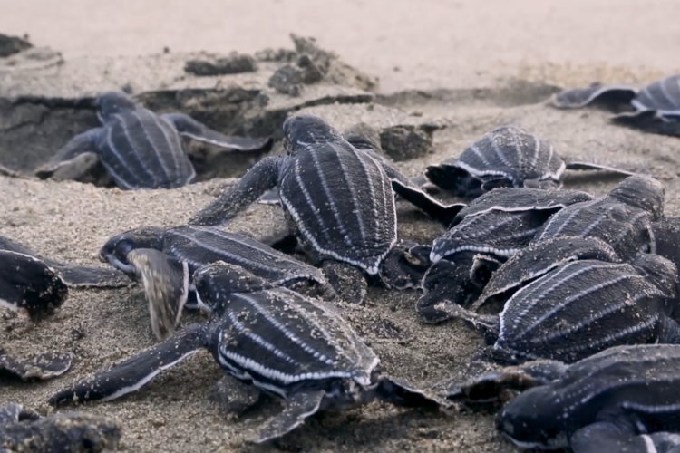 Leatherback hatchlings on a beach.