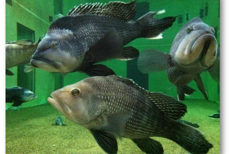 black sea bass swim in very large research aquarium