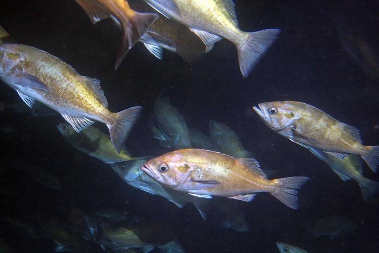 school-of-widow-rockfish-SWFSC-FED.jpg