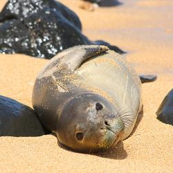 Hawaiian monk seal laying on the beach between beach rocks.