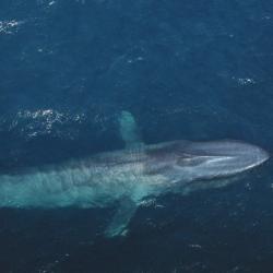 blue-whale-11.jpg