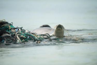 Hawaiian monk seal photographed swimming with derelict fishing net.