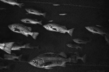 Several fish underwater inside of a net.
