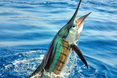 Sailfish emerging from water