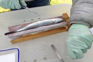 Steelhead smolt receiving a surgically implanted acoustic tag. Smolts receive a constant supply of water and light anesthetic during the one minute procedures. Implanted steelhead are typically held in tanks for one day before being released.
