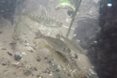 Juvenile Sacramento River winter-run chinook salmon