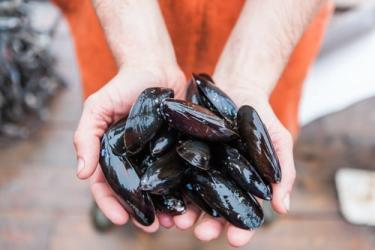Two hands holding freshly harvested mussels from Bangs Island Mussels.