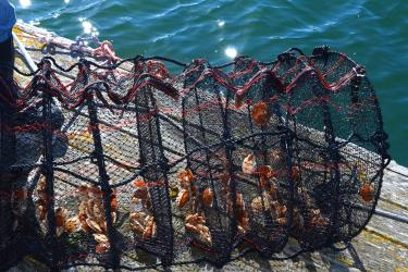 Small live scallops are held in a many-chambered mesh lantern net on a wooden dock.
