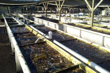 Numerous open tanks full of water and live abalone are situated under an awning at the Cultured Abalone Farm.