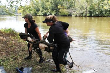 Tribal members capturing and tagging an Atlantic sturgeon