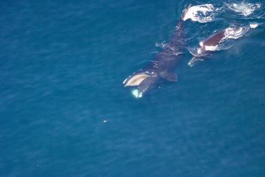 2020-whale-week-NARW-1280x853-main.jpg