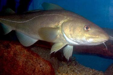 900x600-atlantic-cod-NOAA.jpg