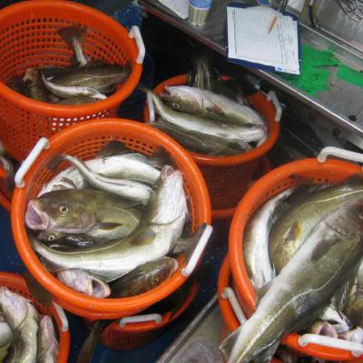 Cod sorted into baskets
