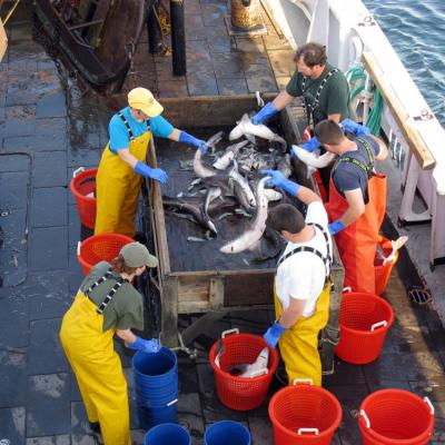 Researchers sort a catch containing spiny dogfish on a ship's deck in 2008
