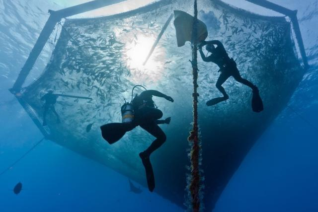 Three underwater divers inspect an aquaculture cage full of fish.